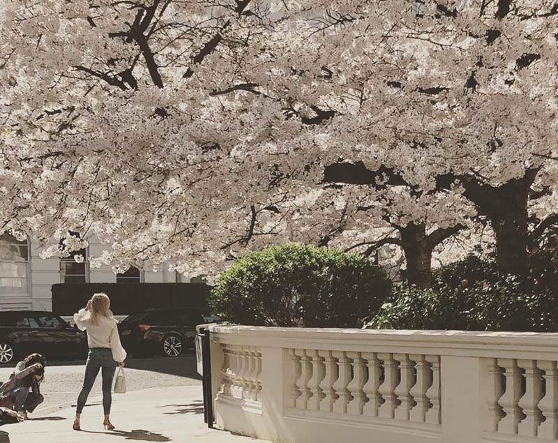 cherry blossom at notting hill